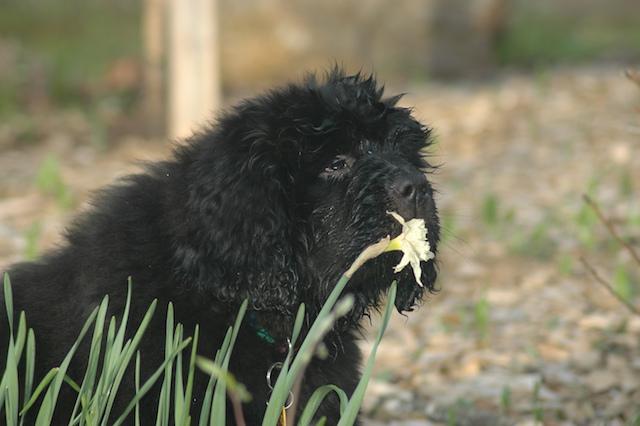 Scarlet Sniffs a daffodil
